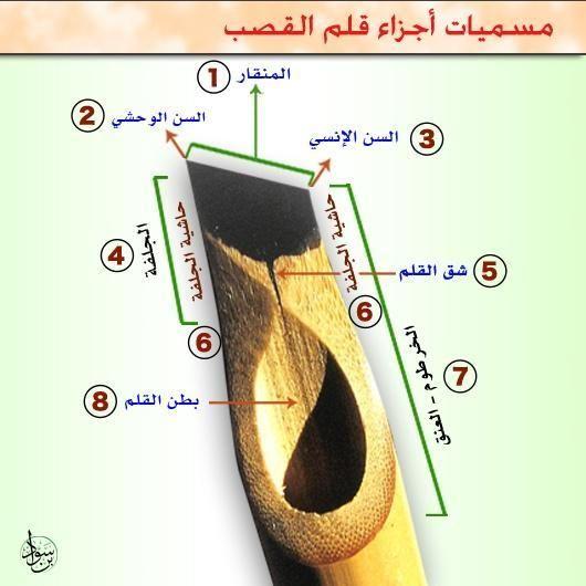 تعرف على أجزاء قلم القصب ومسمياتها في فن #الخط_العربي المنقار والأسنان والجلفة والحاشيتين والخرطوم والبطن