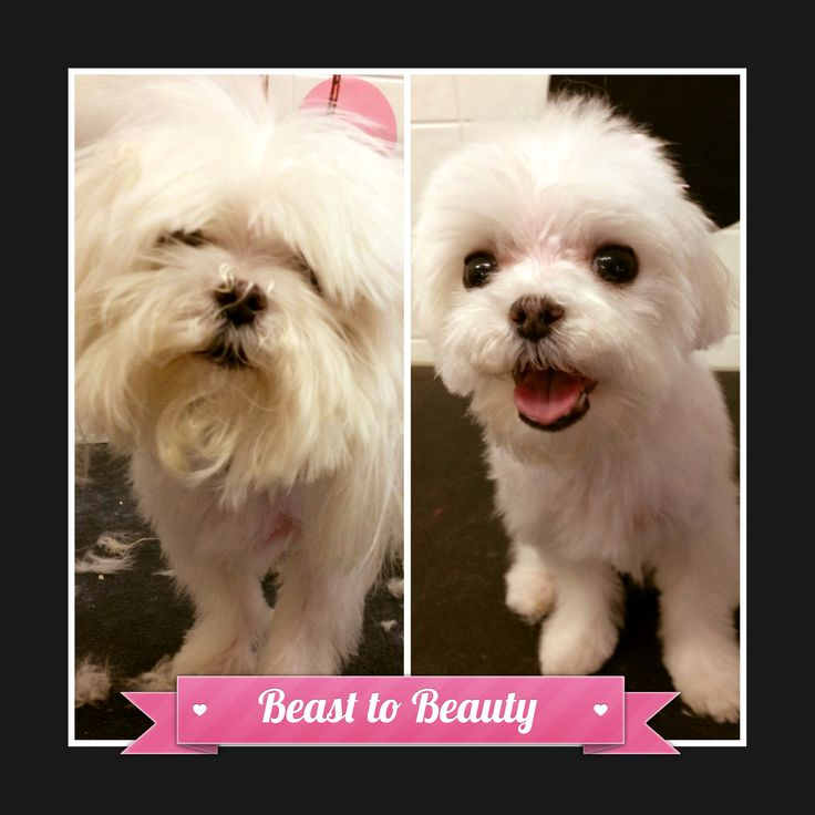 8 best before and after dog grooming photos images on pinterest 8 best before and after dog grooming photos images on pinterest bow wow beautiful dogs and best dogs solutioingenieria Image collections