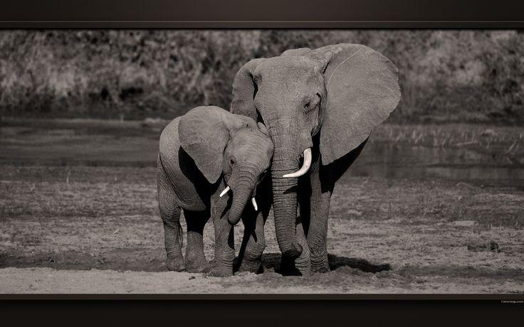 Les 25 meilleures idées concernant Fond D'écran D'éléphant ...