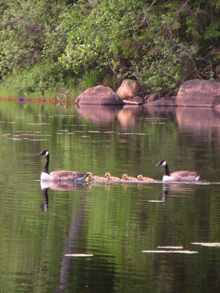 Kanadanhanhi on pesiytynyt 2000 luvulla Liesjärvelle.