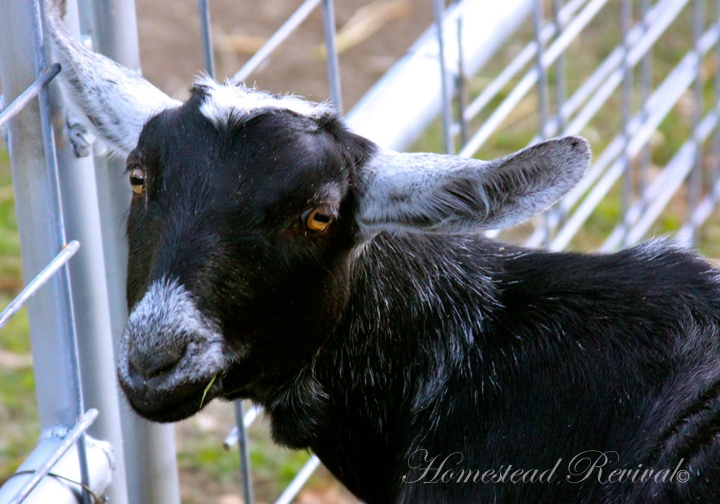 Homestead Revival: Natural Goat Care Resources