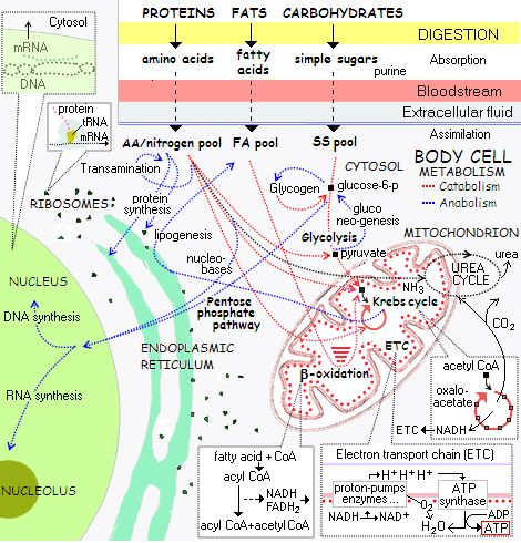 """""""Cellular metabolism"""" --- This page examines cellular metabolism, breaking down its components into sugars, amino acids, fatty acids, and metabolic types"""