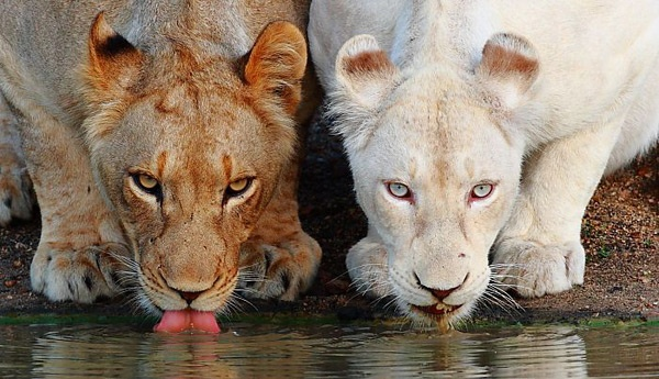 Lioness and albino lioness. Gorgeous!