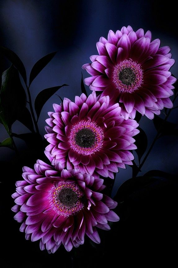 nature   flowers   gerbera daisy   by jean boulay