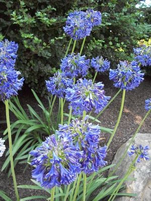 Agapanthus X Blue Yonder Hmmm Maybe To Zone 5 Extra