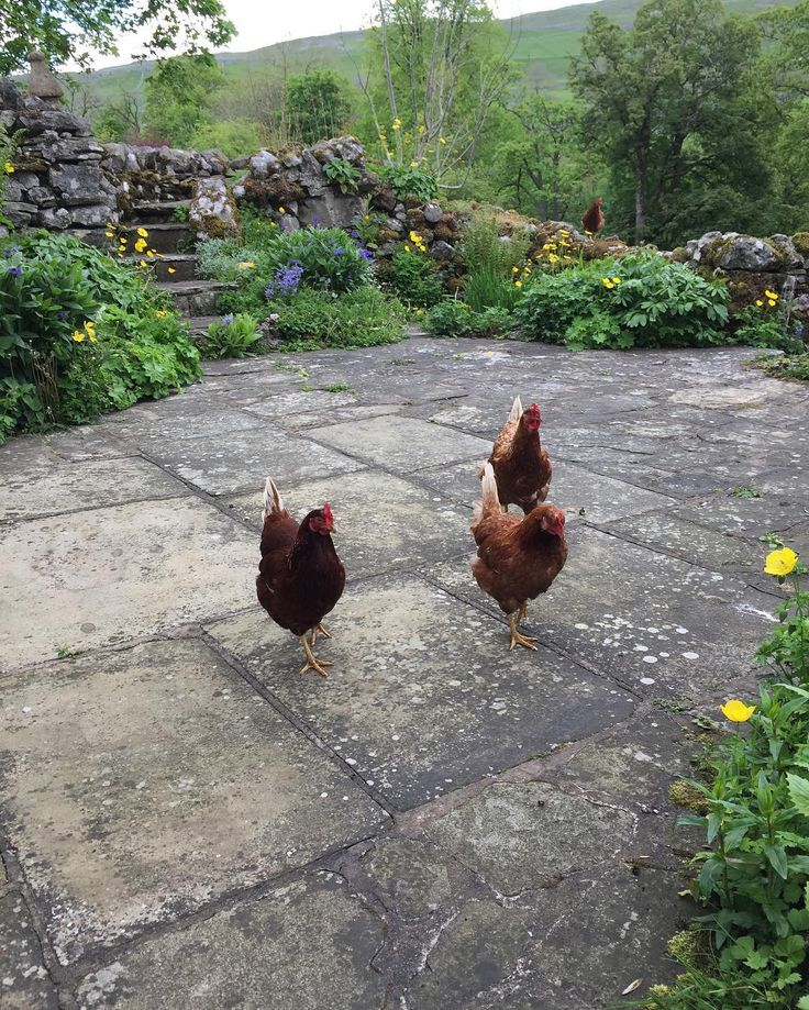 A much cooler day today but the cottage garden is growing fast it's great to see progress at this time of year #hilltopfarm #hilltopmalham #farm #farming #farmlife #garden #cottage #holidaycottage #yorkshiredales #hens #poultry #chickens by hilltopfarmgirl