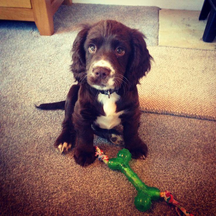 Sprocker puppy 'Mervin'