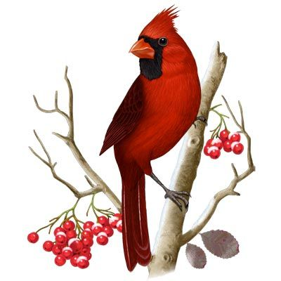This is the picture used to do my tattoo! IN memory of my dad!  Love Cardinals!!