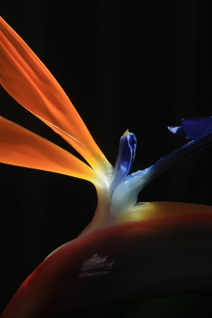 Bird of Paradise (Strelitzia) flower