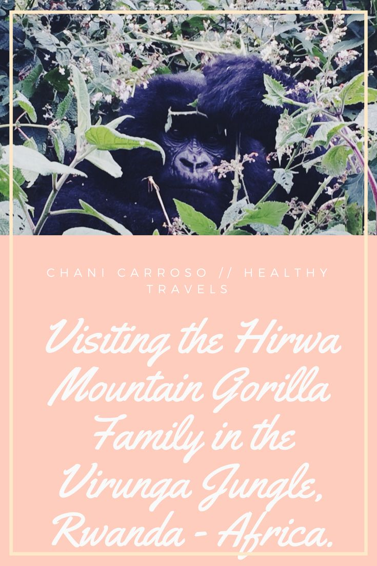 Trekking through the Virunga jungle was one of the most amazing things I have ever done in my life. Climbing a steep incline 2700m above sea level (I take my hat off to those who train/trek in high altitude… so hard!) in the middle of Africa, we came across a beautiful little family of Mountain Gorillas. As we sat in their nest and watched them play, eat, groom and rest… we were told the amazing story behind this family…