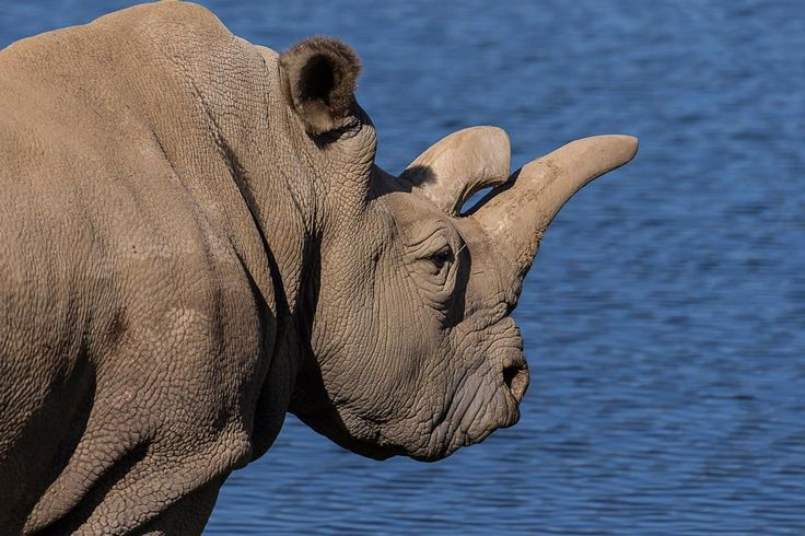 an introduction to the issue of rhinoceros endangerment Internationally, the iucn red list of threatened species is the most well-recognized catalog of threatened species the list and ranking are prepared by the international union for conservation of nature based on very specific criteria.