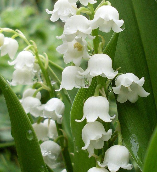 Je me rappelle les bouquets cueillis au printemps chez ma gardienne et chez ma grand-mère paternelle. Mon odeur florale préférée.