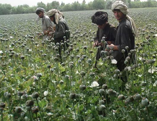 Opium plants spread in Afghanistan as Taliban gains ground, U.N. says