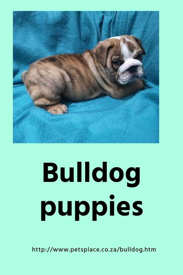 Bulldogs Were Bred For The Sport Of Taunting Bulls Now Banned