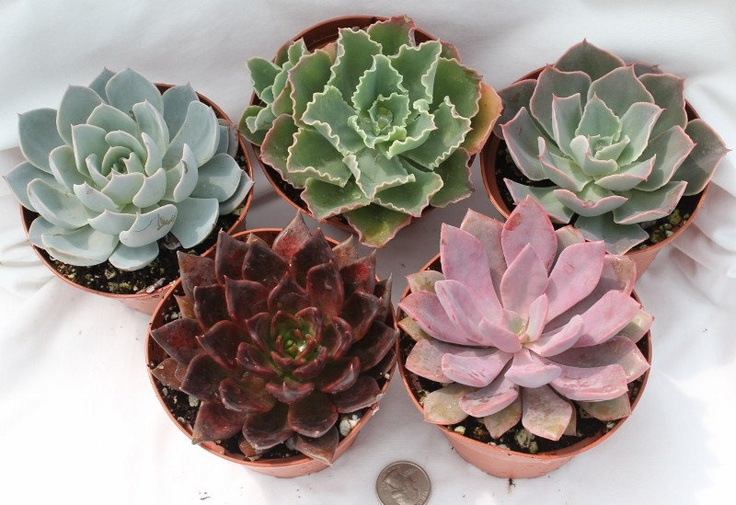 Ten (10) Beautiful Echeveria potted Succulents in their 4 inch plastic containers  wedding shower favors party gifts plants succulent. $28.00, via Etsy.