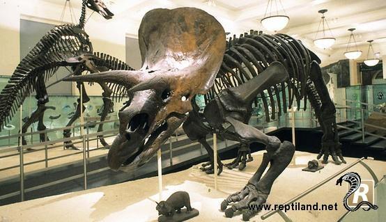 Squelette d'un tricératops.  Le tricératops est un genre de dinosaure herbivore de la famille des cératopsidés qui a vécu à la fin du Maastrichtien, au Crétacé supérieur, il y a 68 à 65 millions d'années, dans ce qui est maintenant l'Amérique du Nord. Il a été l'un des derniers dinosaures avant leur extinction.  Ayant une grande collerette osseuse, trois cornes et quatre...