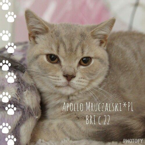 Apollo Mruczalski*PL - British Shorthair Kitten - lilac classic tabby, BRI c 22