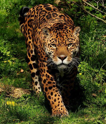 58 Best Images About Katachtigen : Jaguar On Pinterest