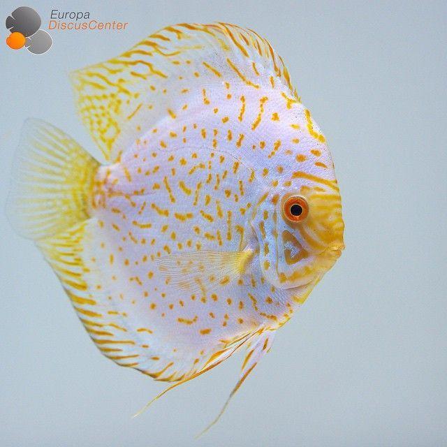 """Rudolf Wagner on Instagram: """"Golden Pigeon Discus #discus #diskus #aquarium…"""