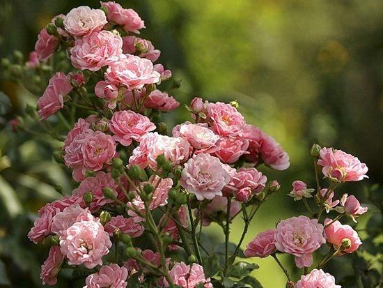 Gyönyörű piros rózsák,Gyönyörű rózsák,Csodaszép rózsák,Gyönyörű sárga rózsák,Gyönyörű rózsák,Csodaszép kardvirágok,Gyönyörű rózsa,Gyönyörű sárga rózsacsokor,Lila rózsacsokor,Rózsák kosárban, vázában - gyönyörű kép, - jpiros Blogja - Állatok,Angyalok, tündérek,Animációk, gifek,Anyák napjára képek,Donald Zolán festményei,Egészség,Érdekességek,Ezotéria,Feliratos: estét, éjszakát,Feliratos: hetet, hétvégét ,Feliratos: reggelt, napot,Feliratos: egyéb feliratok ,Finomságok, kávék,italok…