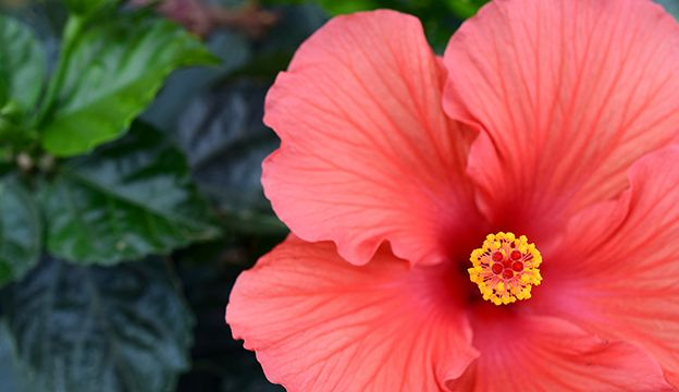 Hibiscus For Heart Health - Hobby Farms