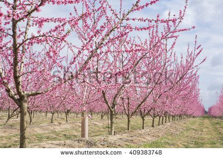 Blossoming peach plantation trees in field on background of cloudy sky, Badajoz…