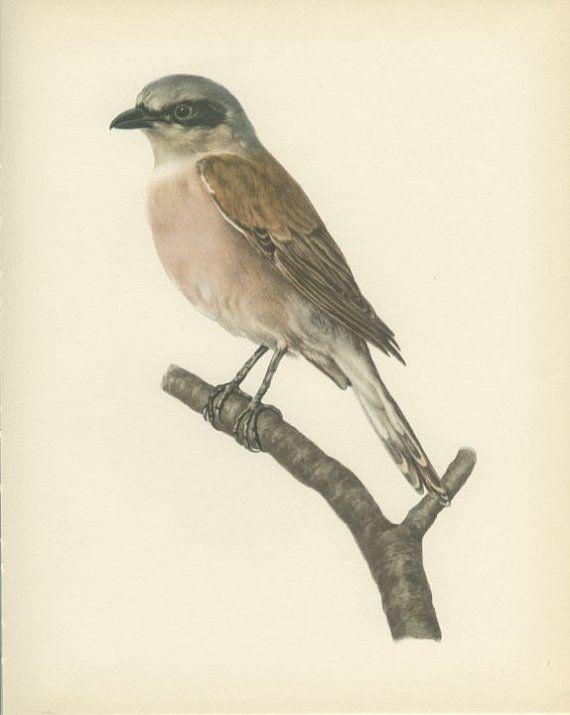Vintage Bird Print RedBacked Shrike by MarcadeVintagePrints