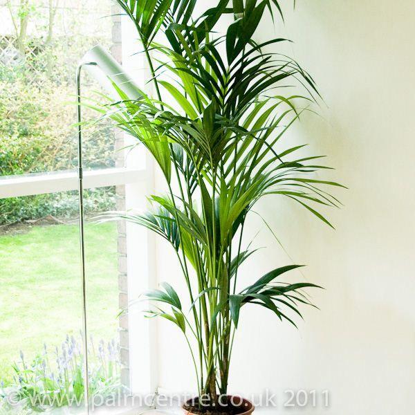 Best 25+ Indoor palms ideas on Pinterest   Big plants, Big indoor ...