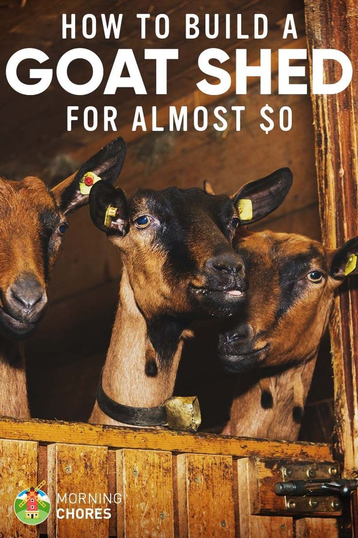 Do you want a cheap option for a goat shelter? Try a loft bed! Here's how to build a goat shed for practically $0 (if you already have the tools)
