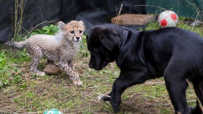 la speciale amicizia tra il ghepardo Siri e il cagnolino Iris
