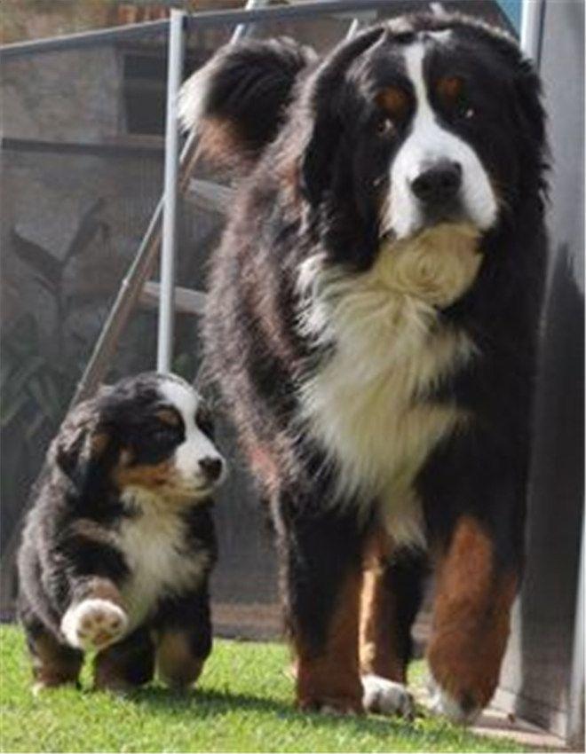 30 Cute Bernese Mountain Dog Puppies Bernesemountaindog Cute Animals Dogs Dog Breeds
