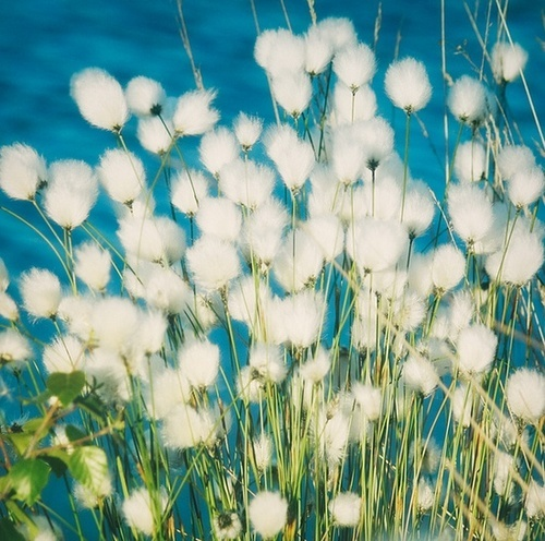 29 best summer flowers in art images on pinterest art flowers cotton grass i bet sarah could paint this for me mightylinksfo