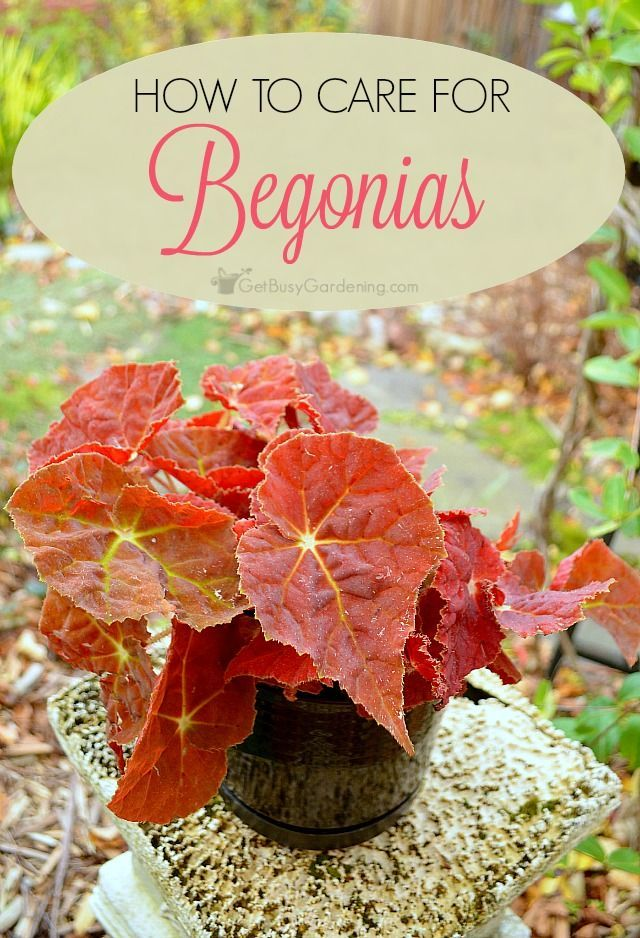 How To Care For Begonia Plants Plant Care Plants Indoor Vegetable Gardening