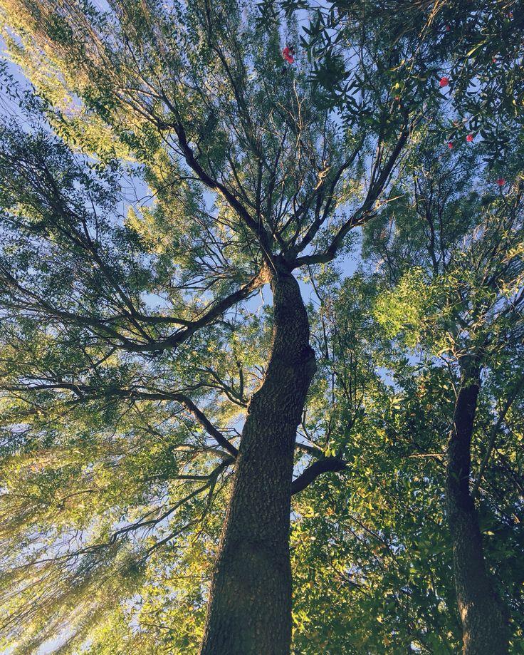 Suce arból nature tree sur chile naturaleza sauce llorón campo bosque paraíso