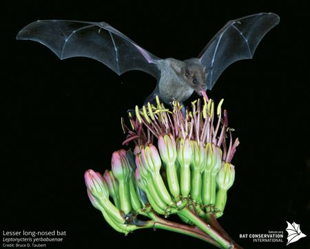 The Lesser long-nosed bat is an important pollinator of plants in Mexico and the American Southwest. Photo by Bruce D. Taubert, Courtesy of Bat Conservation International