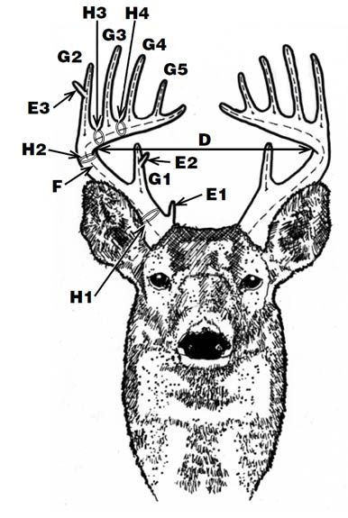 Deer Antler Scoring.  Need to learn this so, I know what the hunters in my family are talking about