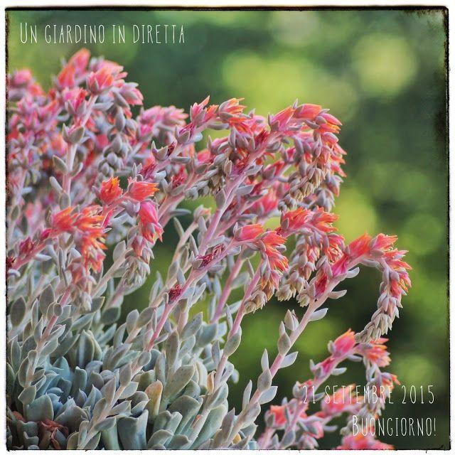 """In diretta dal giardino: fiori di settembre, Echeveria runyonii """"Topsy Turvy"""" Leggi di più nel blog!  #giardino #giardinoindiretta #fiori #settembre #succulente"""