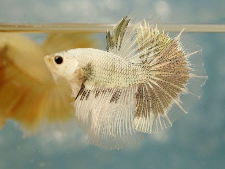 Male halfmoon betta fish pinterest betta betta fish for What is a beta fish