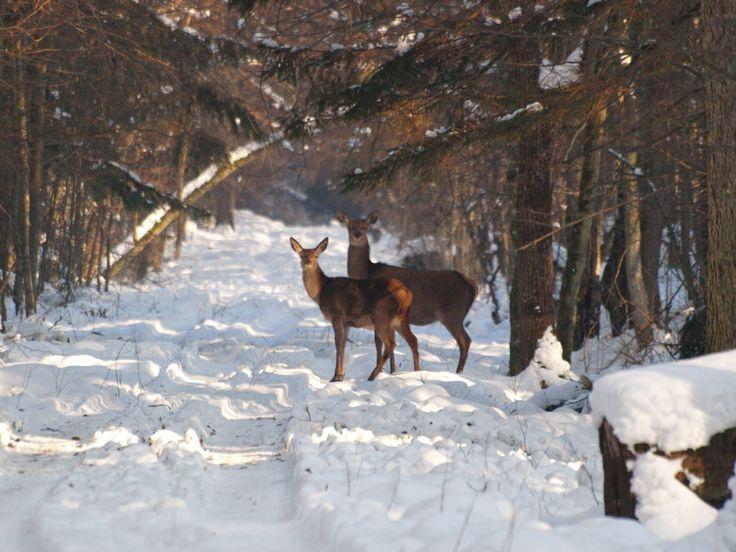 deers; Białowieża Biodiversity Academy www.WEJMUTKA.pl