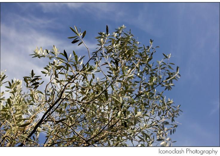 Olive branch, Tuscany