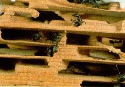 carpenter ant damage --- Carpenter ants do not eat wood but instead construct their nests in wood. Nests are made by chewing an interconnecting series of tunnels and cavities. These galleries are usually smooth and free of mud.
