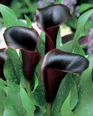 Bonsoir à tous, j'ai pu voir sur le forum un certain nombre de fleurs sombres, notament les Arums et les Roses Tremieres ( merci Louison ) Etant amoureux (en pl