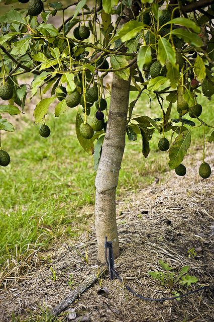 Avocado Tree There S Been Some Talk Recently About The Possible Inevitability Of Us