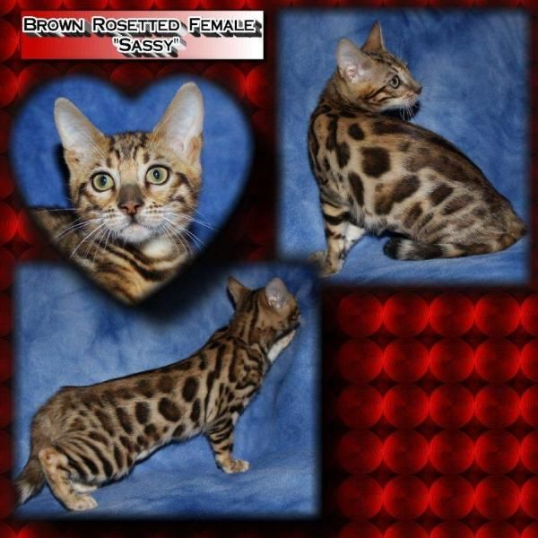 Bengal Cats Marbled Available Bengalglitz Bengal Kittens In Ohio Bengal Kitten Bengal Cat Kittens
