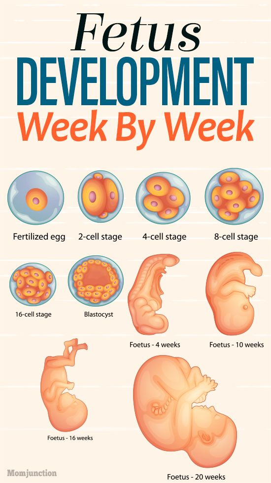 Your Unborn Baby\u0027s Development - Week By Week Pregnancy Week-By