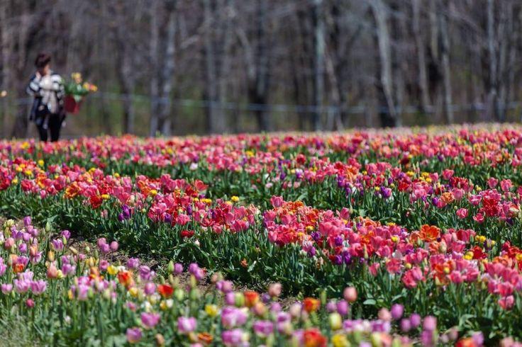 Tra la seconda metà di marzo e la fine di aprile, avrai la possibilità di passeggiare e scattare fotografie in un immenso campo di tulipani
