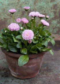 De witte, rode of roze madeliefjes (Bellis) combineren gemakkelijk met andere planten. Geef niet te veel water en verwijder uitgebloeide bloemen en gele blaadjes.