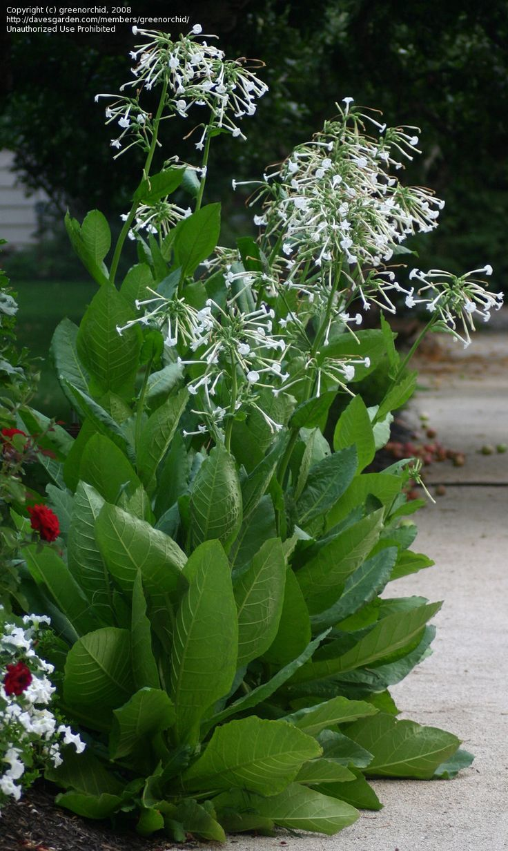 Borders of Fragrant Nicotiana Sylvestris...I love the smell of these, it's amazing!