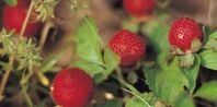How to Grow Raspberry Bushes in Containers