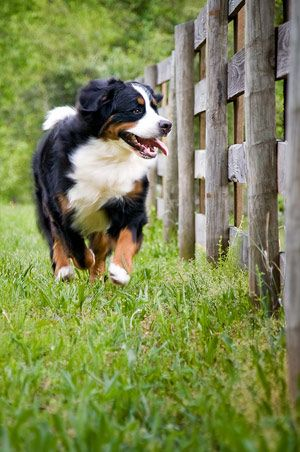 Dora, running the fence, she's visiting from the farmhouse. She must be herding the baby lambs into the sheep pen. Or the kids are here and she's herding them too.............